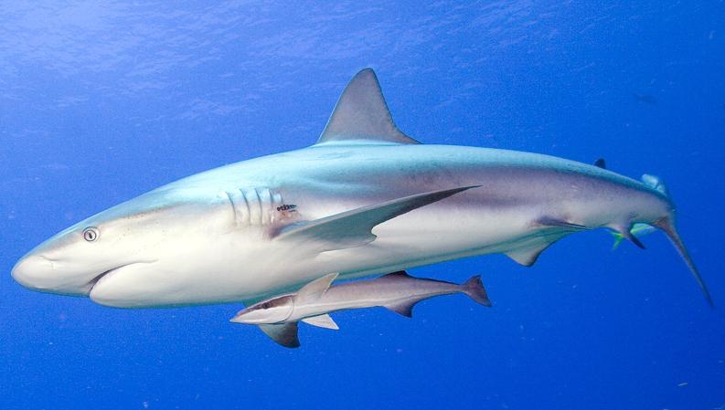 shark-and-remora.jpg